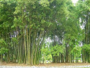 strong bamboo
