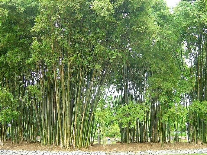 strong bamboo