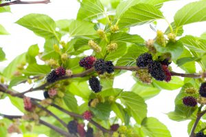 mulberry fruits