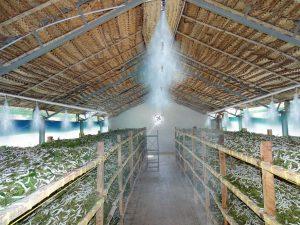 raising silkworms